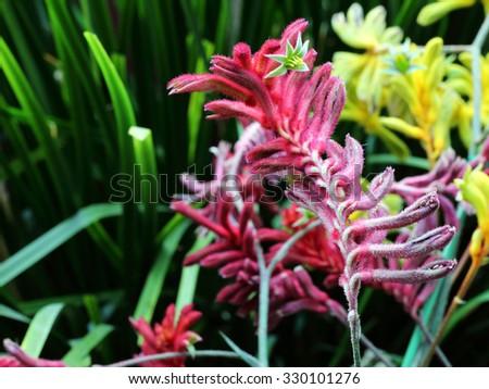 Kangaroo Paw (Australian Wildflower - Anigozanthos pulcherrimus) - stock photo