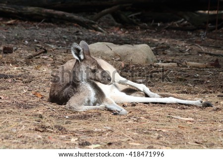 Kangaroo resting in a hot summer day - stock photo