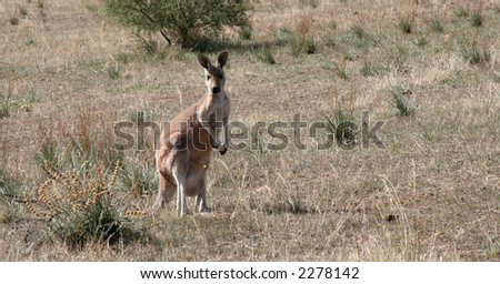 Kangaroo stopping to look