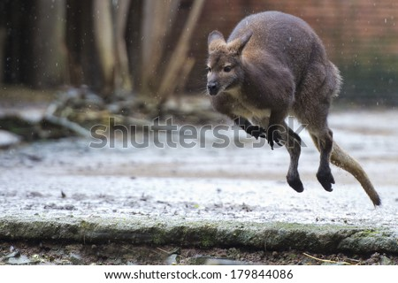 kangaroo while jumping close up portrait - stock photo