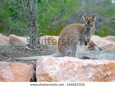Kangaroo - Wild Wallaby Posing in Australia - stock photo
