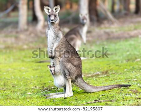 Kangaroo with baby alert - stock photo