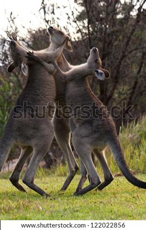 Kangaroos Boxing - stock photo