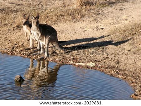 Kangaroos by a pond - stock photo