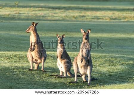 Kangaroos feeding, Australia - stock photo