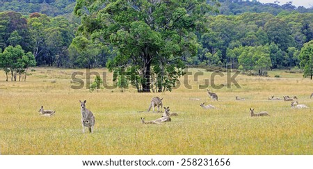 Kangaroos in Australia are looking straight at the foto-camera - stock photo