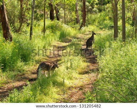 Kangaroos in the forest - stock photo
