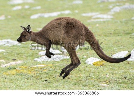 Kangaroos while jumping at sunset in kangaroo island - stock photo