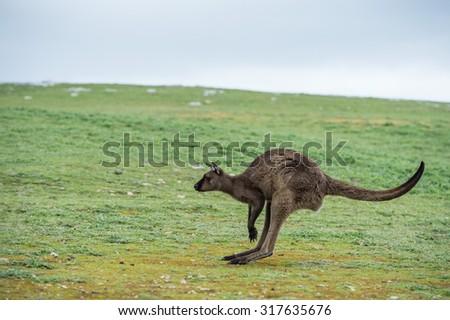Kangaroos while looking at you at sunset in kangaroo island - stock photo