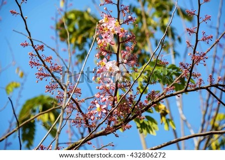 Kanlapaphruek flowering tree before it fell out, allowing it to leave early. When the flowers bloom, so we do not see it at all its leaves. - stock photo