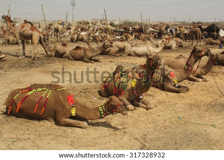 KARACHI, PAKISTAN - SEP 16: Camels are being selling at a cattle market settled at Super Highway on the occasion of Eid-ul-Azha coming ahead on September 16, 2015 in Karachi.