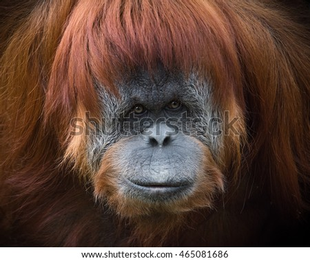 orangutans endangered dues to palm oil How, exactly, are the orangutans endangered due to palm oil.