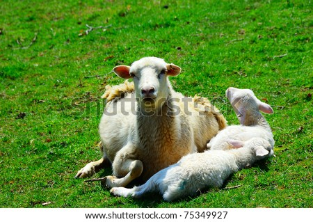 Katahdin Ewe and spring lambs relaxing in warm spring sunlight, family farm, Webster County, West Virginia, USA