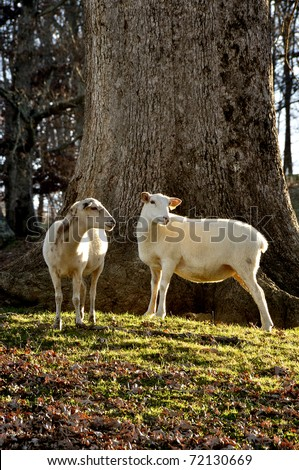 Katahdin Sheep by large Oak tree on family farm, Webster County, West Virginia, USA - stock photo