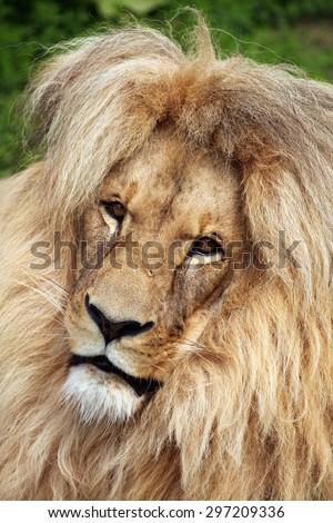 Katanga lion (Panthera leo bleyenberghi), also known as the Southwest African lion. Wildlife animal.  - stock photo