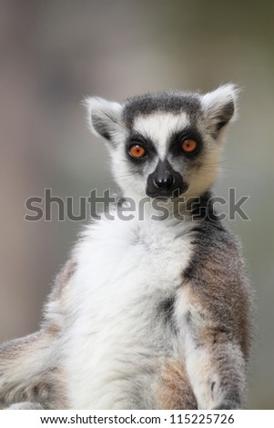 katta portrait - stock photo