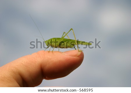 katydid on my finger
