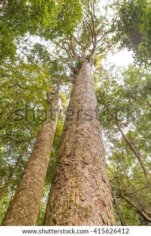 Kauri or Agathis Australis, native trees of New Zealand - stock photo