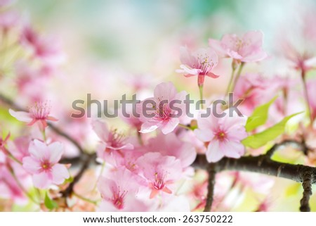 Kawazu sakura cherry blossom (Cerasus lannesiana, 'Kawazu-zakura') in full bloom . One of the earliest-blooming cherry in spring. - stock photo