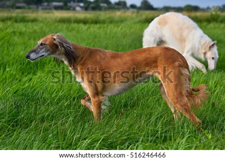 Kazakh wolfhound dog Tazi or Saluki on the meadow witm russian wolfhound on background