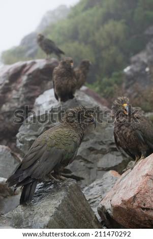 Kea birds on rocks - stock photo