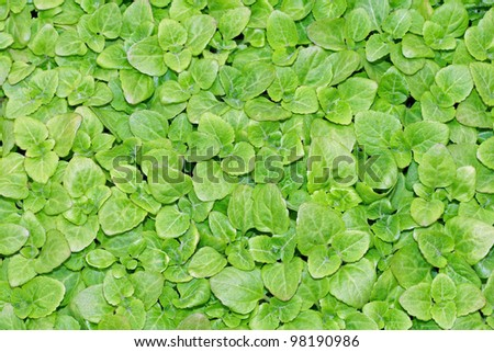 keep growing green leaves of lettuce ready to harvest and season - stock photo
