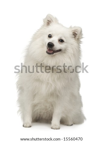 Keeshond (10 months) in front of a white background - stock photo