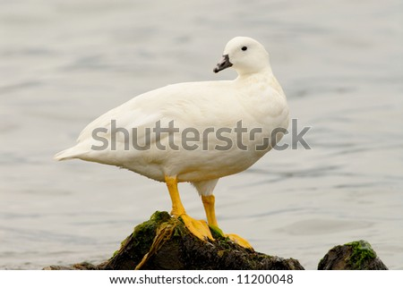 Kelp Goose (Chloephaga hybrida), Male, in Patagonia - stock photo