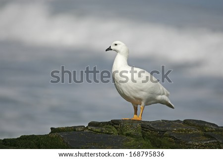 Kelp goose, Chloephaga hybrida, single bird by water, Falklands
