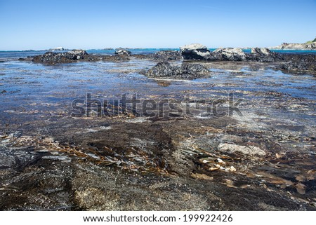 Kelp, growing in shallow water, grows in the shallows next to a rocky beach near Mendocino in Northern California. The Pacific Ocean has worn Northern California's coastline into dramatic scenery.  - stock photo
