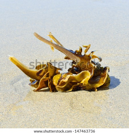 kelp on sandy beach - stock photo