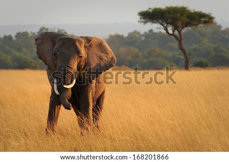 KENYA - AUGUST 12: An African Elephant (Loxodonta africana) on the Masai Mara National Reserve safari in southwestern Kenya. - stock photo