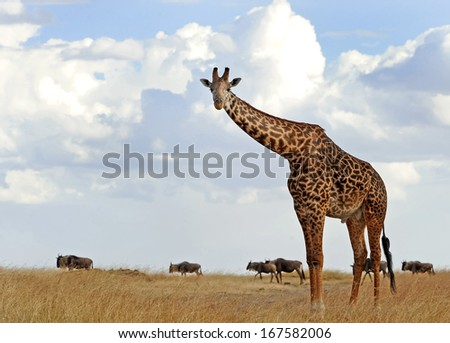 KENYA - AUGUST 5: An African Giraffe (Giraffa camelopardalis) on the Masai Mara National Reserve safari in southwestern Kenya. - stock photo