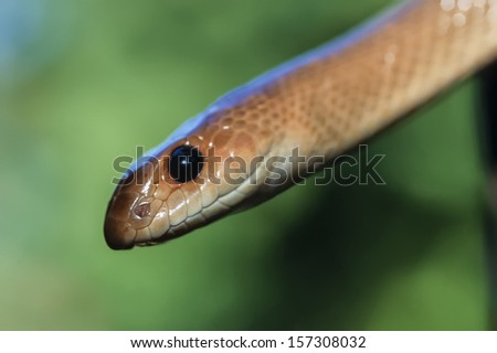 Kenya, Malindi, Black Mamba snake (Dendroaspis polylepis)-FILM SCAN - stock photo