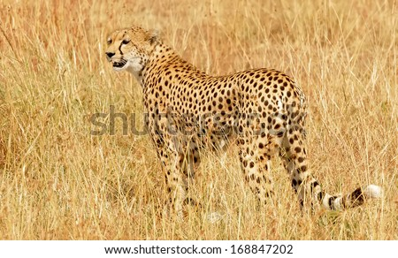 KENYA - MARCH 4: An African Cheetah (Acinonyx jubatus) on the Masai Mara National Reserve safari in southwestern Kenya. - stock photo