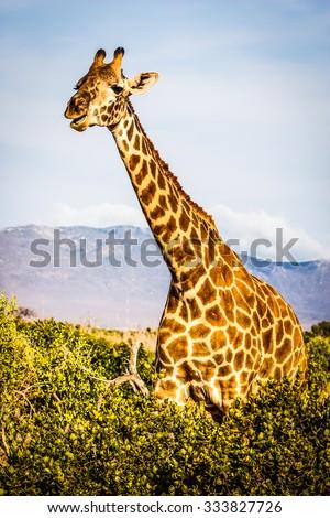 Kenya, Tsavo East National Park. Free giraffe in sunset light. - stock photo