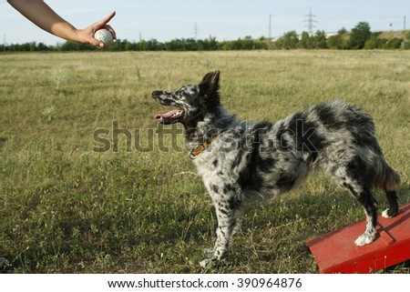KEREPES, HUNGARY - JULY 06, 2008: unidentified woman show her mudi shepherd dog the sign without words for stay  in an unidentified dog school on July 06, 2008, in Kerepes, Hungary