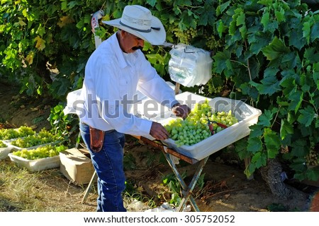 KERN COUNTY, CA - AUG 11, 2015: An unidentified Mexican-America man working in a  San Joaquin Valley vineyard begins early in the morning to bag table grapes in the field.