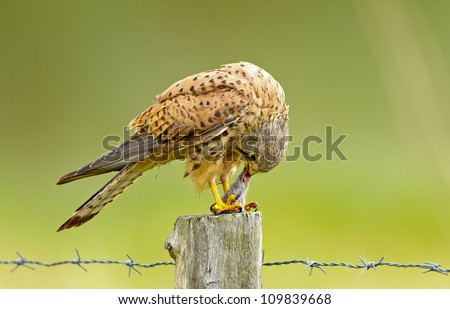 Kestrel eating a prey