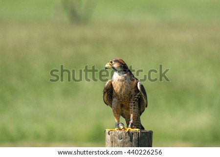 Kestrel falcon sitting on a wooden pole in green nature