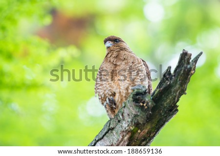 Kestrel on a branch of the tree