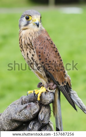 Kestrel perched on trainers glove.