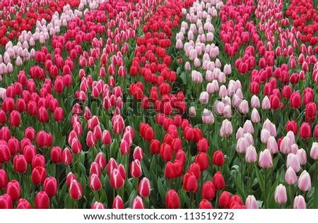 Keukenhof gardens natural park waves of red tulips. - stock photo