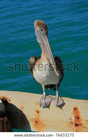Key west's pelican wait to catch the fish - stock photo