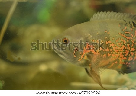 KG KOBUNI, MALAYSIA- 24 JULY 2016: A fish waiting to be feed