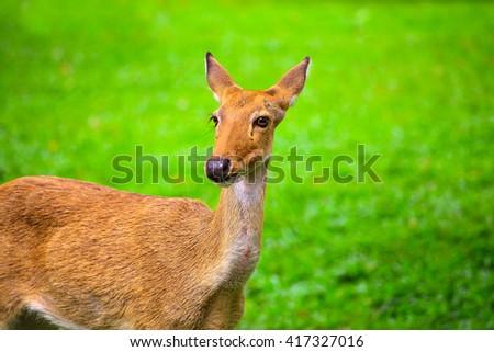 Khao Kheow Open Zoo, Eld's deer, thamin - stock photo