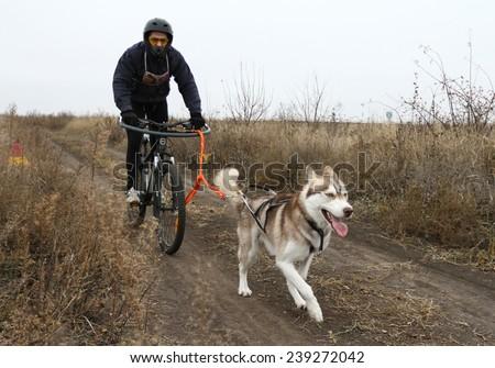 Kharkov, UKRAINE - November 15, 2014: Dmitriy Volkov during one dog Bikejoring Men's 3100 m at Sled dogs dry land race Autumn Cup - 2014 - stock photo