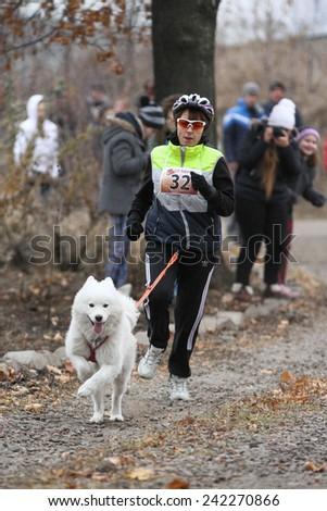Kharkov, UKRAINE - November 15, 2014: Tatiana Yurchenko at canicross heats during Women's 3100 m at Sled dogs dry land race Autumn Cup - 2014 - stock photo