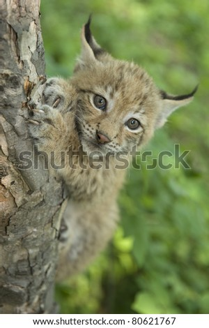 Khrushchev Georgy   lvanovich a kitten of lynx is in natural among  in the taiga  of the Seashore  region ,     Russia - stock photo