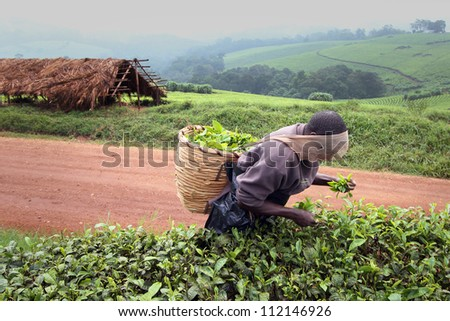 KIBALE, UGANDA - JUNE 13: Man works for pennies a day picking tea on June 13, 2012 in Kibale, Uganda. This man Is a Rwandan refugee who lost his family in the genocide.